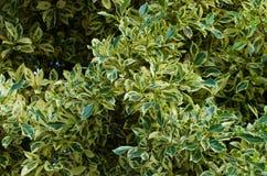 Ficus benjamina Fotografie Stock