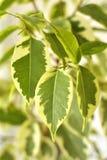 Ficus Benjamina Stock Foto's