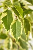 Ficus Benjamina Royalty-vrije Stock Afbeelding