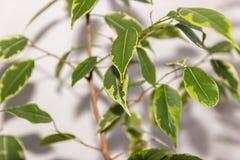 Ficus benjamina Alloggi la pianta Fotografie Stock