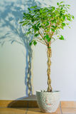 Ficus benjamina. Background photo with flower and its shadow Stock Photography