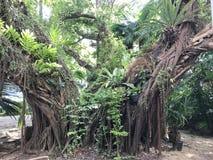Ficus benjamina or Benjamin fig or Ficus tree. Stock Photo