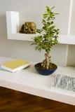 Ficus benjamina Bonsais auf den weißen Regalen Stockbild