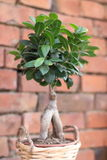 Ficus Benjamina. With a brick wall background Stock Photography
