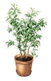 Ficus Benjamina in clay flowerpot. Royalty Free Stock Images