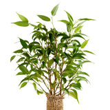 Ficus benjamina closeup Royalty Free Stock Photography