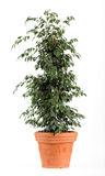 Ficus Benjamina Danielle Plant sur le pot brun clair Photos libres de droits