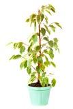 Ficus Benjamina dans le bac. D'isolement sur le blanc Photographie stock