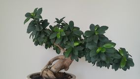 Ficus benjamina dei bonsai fotografia stock