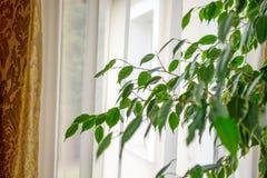 Ficus benjamina domu roślina przed okno z zasłoną fotografia stock