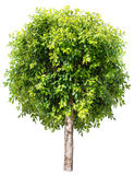 Ficus benjamina. Stock Images
