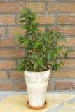 Ficus benjamina Stock Image