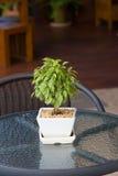Ficus benjamina in flower pot Stock Images