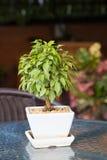 Ficus benjamina in flower pot royalty free stock photography