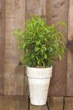Ficus benjamina in a flower pot stock photos