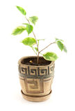 Ficus benjamina in flowerpot Royalty Free Stock Photography