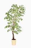 Ficus benjamina in flowerpot Royalty Free Stock Image