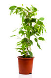 Ficus benjamina in flowerpot Stock Images