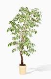 Ficus benjamina in flowerpot Stock Photography