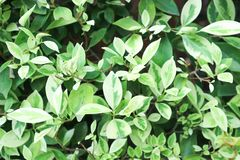 Ficus benjamina or gogen fig Royalty Free Stock Photo