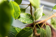 Ficus Benjamina. House plant. Royalty Free Stock Photo