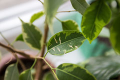 Ficus Benjamina. House plant. Royalty Free Stock Image