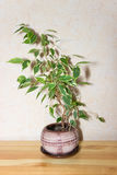 Ficus Benjamina. House plant. Royalty Free Stock Images