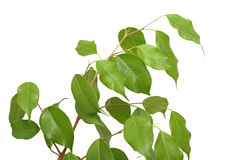Ficus benjamina, isolated Royalty Free Stock Images