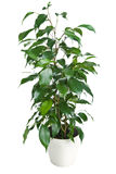 Ficus benjamina isolated Stock Image
