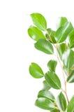 Ficus benjamina isolato su bianco Immagine Stock