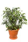 Ficus benjamina isolato su fondo bianco Fotografia Stock Libera da Diritti
