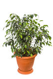 Ficus benjamina lokalisiert auf weißem Hintergrund Lizenzfreies Stockfoto