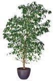 Ficus benjamina na białym tle obrazy stock
