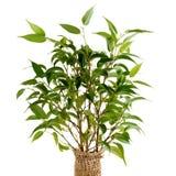 Ficus benjamina Nahaufnahme Lizenzfreie Stockfotografie