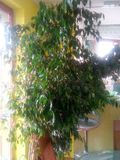 Ficus benjamina no 2 stock photo