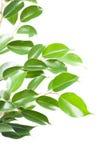 Ficus benjamina odizolowywający na bielu Obraz Stock