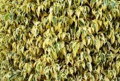 Ficus benjamina opuszcza jako kwiecisty tło lub tekstura Tropikalny ornamentacyjnych rośliien pojęcie zdjęcie royalty free