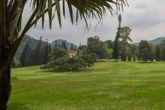 Ficus benjamina in Peradeniya Botanical Gardens Royalty Free Stock Image