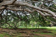 Ficus benjamina Stock Images