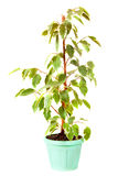 Ficus Benjamina  in  pot. Isolated on white Stock Photography