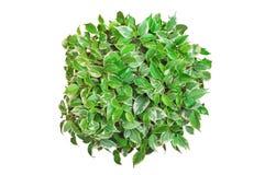 Ficus Benjamina round kształt odizolowywający na białym tle zdjęcie stock