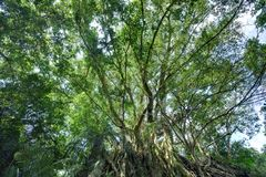 Ficus benjamina tree. Big ficus benjamina tree in Taitung County, Taiwan royalty free stock photo