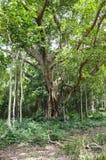 Ficus benjamina tree Royalty Free Stock Images