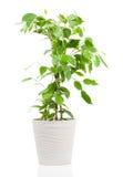 Ficus benjamina in vaso da fiori Fotografia Stock Libera da Diritti