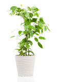 Ficus benjamina w flowerpot Fotografia Royalty Free
