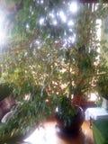 Ficus benjamina w żywym pokoju fotografia stock