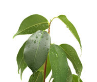 Ficus benjamina with waterdrops, isolated. Small ficus tree (Ficus benjamina, Weeping Fig, Benjamin's Fig) with many green leaves on white background Royalty Free Stock Image