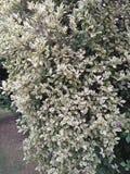 Ficus Benjamina (weinende Feige) lizenzfreies stockbild