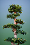 Ficus Benjamina zoals een Bonsay Stock Foto's