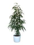 Ficus binnendijkii Alii domu roślina Fotografia Stock